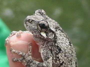 Toads powwow